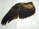Wedge-tailed Eagle wing