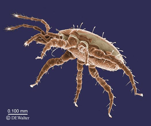Mite from the genus Macrocheles