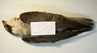 Field label on Peregrine Falcon