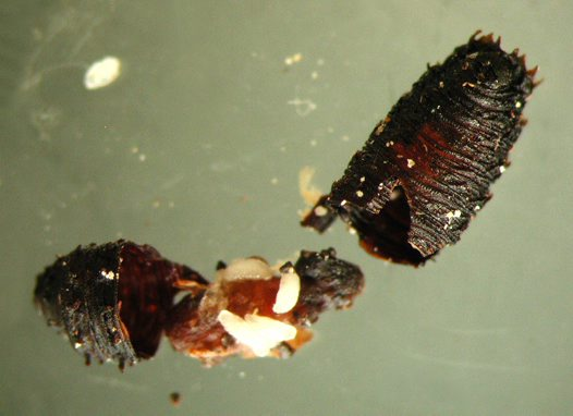 Wasp larva feeding on the fly pupa
