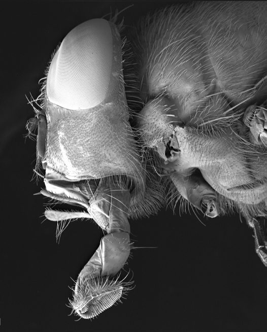 Adult blowfly mouth