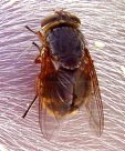 Eastern Golden Haired Blowfly