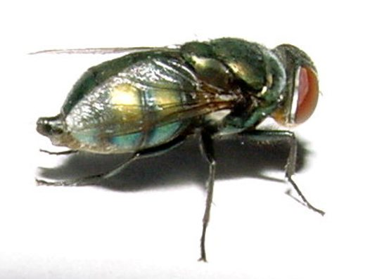 Female Green Hairy Maggot Blowfly