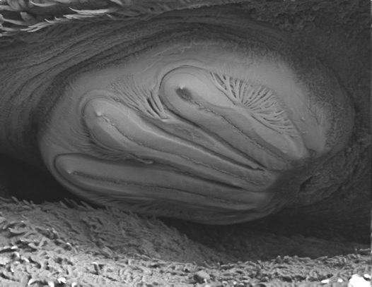 Close up of a maggot spiracle