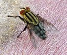Flesh fly - Adult