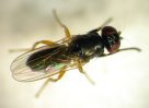 An Australian Cheese Fly