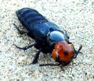 Devil's Coach-horse Beetle