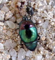 Hister Beetle from genus Saprinus