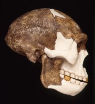 Side view of Peking Man skull Homo erectus