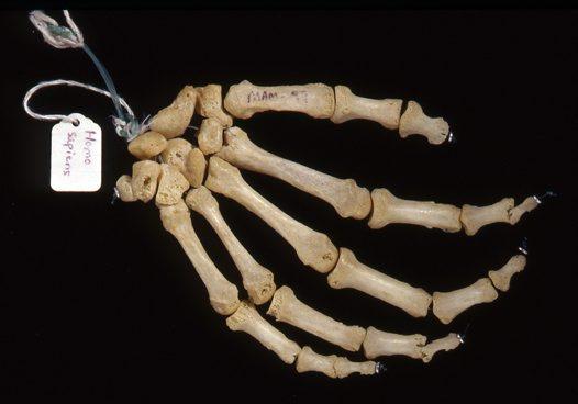 Human hand bones - Australian Museum