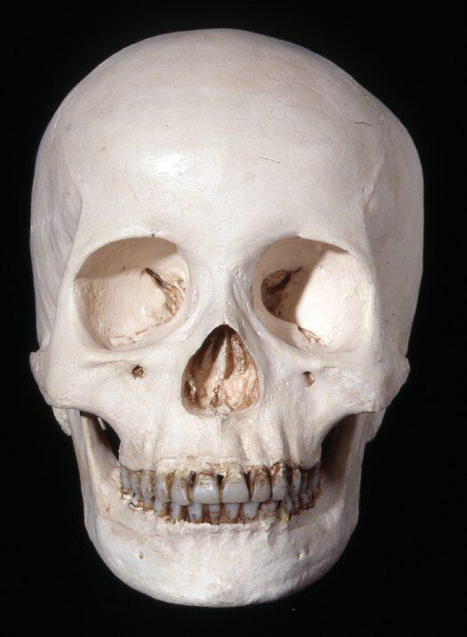 Image result for homo sapiens skull