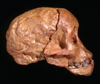 Side view of Taung Child fossil cast