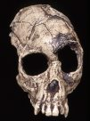 Front view of Proconsul heseloni skull cast