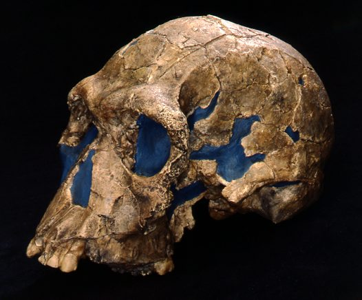 Side view of Homo habilis skull cast