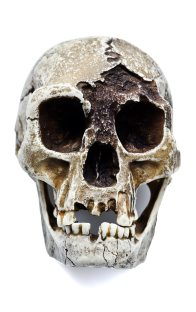Front view of Homo floresiensis skull