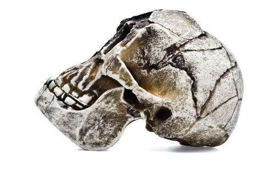 Side view of Homo floresiensis skull