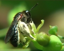 Solitary bees - the efficient pollinators