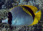 Lined Butterflyfish at Ribbon Reefs