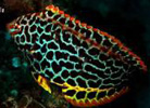 Leopard Wrasse at Julian Rocks