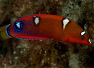 Clown Wrasse, Coris gaimard