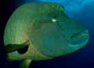 Humphead Maori Wrasse at Agincourt Reef