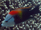 Slingjaw Wrasse at Pixie's Pinnacle