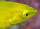 Golden Wrasse at Cook Island