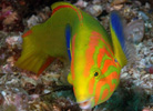 Green Moon Wrasse at Julian Rocks