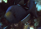Black Triggerfish at Christmas Island