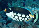 Clown Triggerfish at Julian Rocks