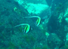 Moorish Idols at the Kermadecs