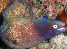 Greyface Moray, Gymnothorax thyrsoideus