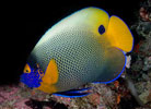 Blueface Angelfish, Pomacanthus xanthometopon