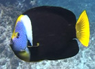 Queensland Yellowtail Angelfish, Chaetodontoplus meredithi