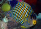 Regal Angelfish, Pygoplites diacanthus