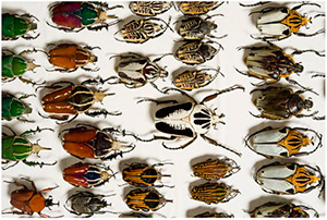 Australian Museum Beetle Collection
