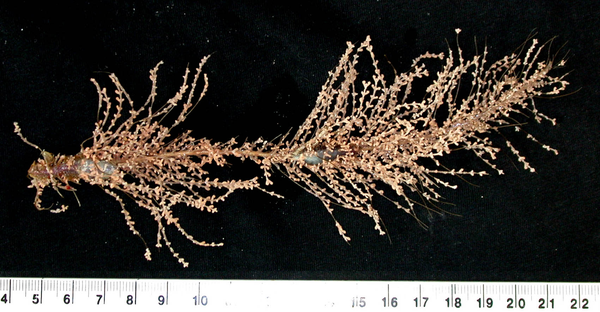Spot the worms! Deep-sea corals and associated worms (two in image) collected from Tasmanian seamounts around 1000 m water depth. Deep-water corals are very slow growing and are vulnerable to impacts from fishing, oil and gas development, mining and changes in ocean temperatures. We do not fully understand how these deep-water communities react to changing environmental conditions; research at the Australian Museum is working to address this by describing and cataloguing the species present in Australian deep-water environments. Laetitia Gunton, Chadwick Biodiversity Fellow, Marine Invertebrates, Australian Museum Research Institute.