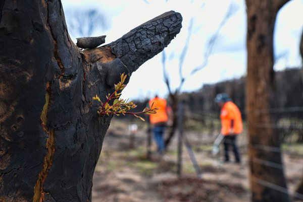 The devastating bush fires in Australia have left bare trees with black bark. After some time, the vegetation slowly comes alive.  On darkened trees looking like charcoal, regrowths appear bringing green branches and hope.