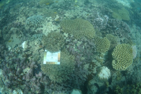 A reef beginning to show signs of bleaching with some colonies of Acropora and the Porites bleached but with others still healthy. At the Australian Museum's Lizard Island Research Station Great Barrier Reef.  Dr Pat Hutchings, Senior Fellow Australian Museum Research Institute.