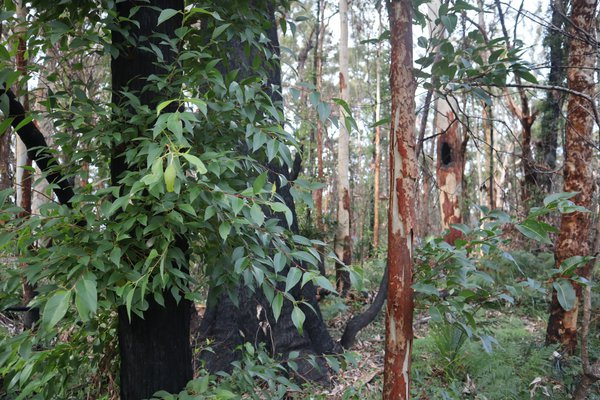 Capturing the bushfire recovery at Murramarang National Park six months later, July 2020