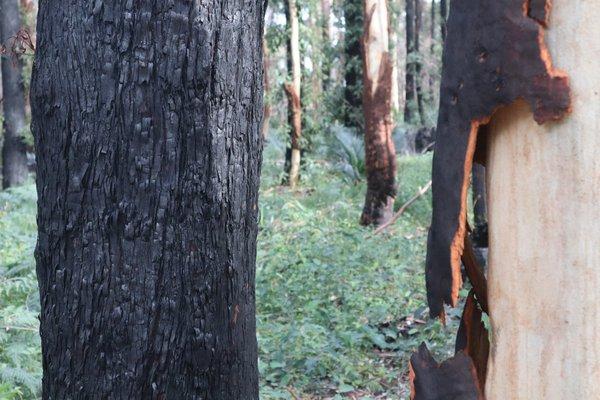 Burnt bark peeling off as as trees recover following bushfires at Murramarang National Park six months later, July 2020