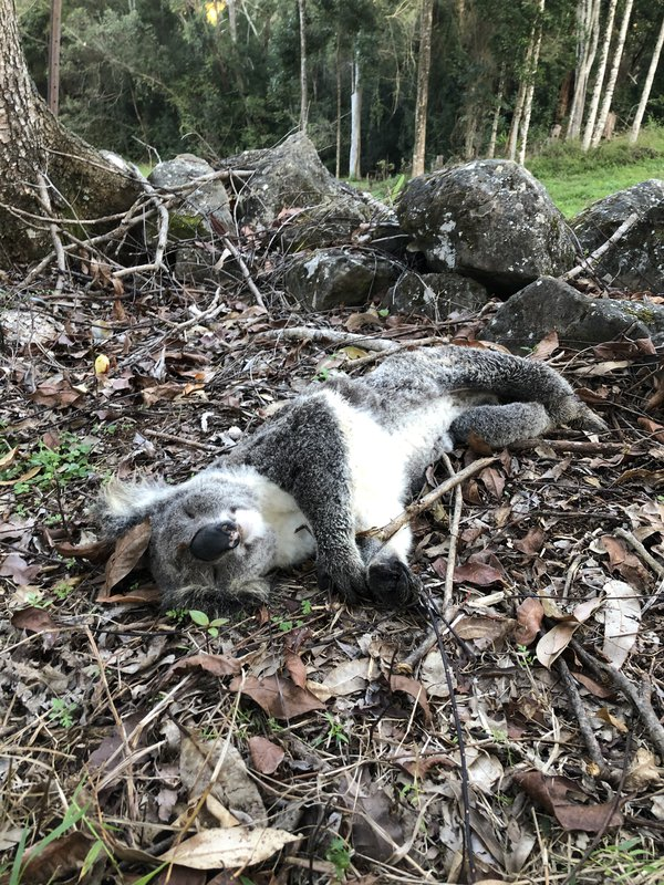 Heart breaking discovery as I was collecting firewood on my property in the Byron Bay hinterland....this young female was undernourished and looked to have fallen from a tree. She looks so peaceful.