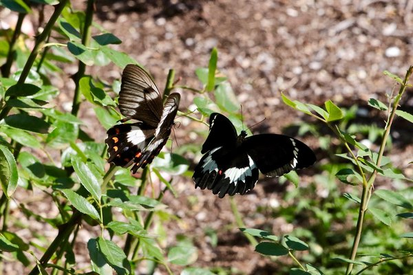 Orchard butterflies (Papilio aegeus) in our garden in March, several breeding cycles after the Cobargo fires. Our garden is an oasis and it was spared (just). Relieved they made it through.  Its so important for people to create safe havens like this, if we can.