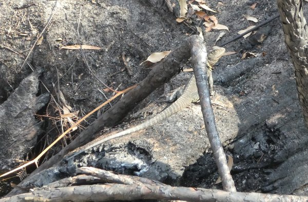 East Gippsland Water Dragon, Jan 29th, 15 days after fire impacted Tamboon.