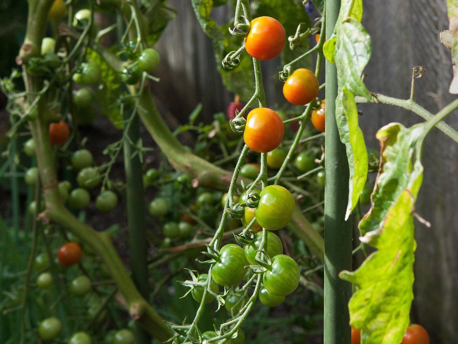tomato plants in a garden