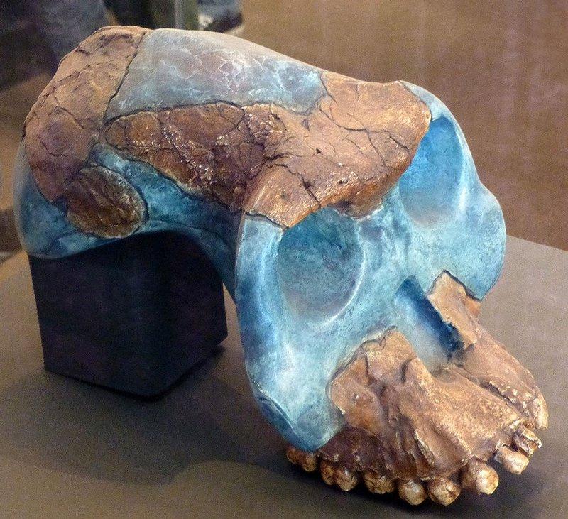 Cast of partial cranium remains of <i>A. garhi</i> (type specimen BOU-VP-12/130)