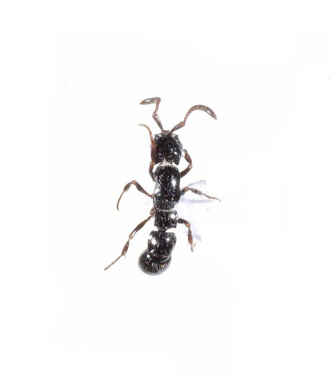 Ant-raiding Ant