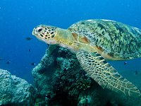 Green Turtle (Chelonia mydas), Turtle Patch, Pulau Sipadan, Sabah, MALAYSIA