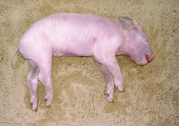 Dead Pig Decomposition Stage 2: Initial decay - 0 to 3 days after death