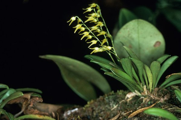 Pleurothalid Orchid